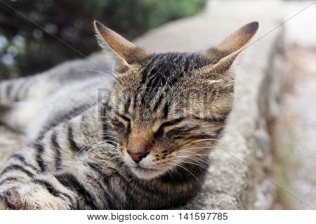 beautiful crimean non-pedigree tabby eared cat lying on stone parapet closed his eyes and pricked ears closeup