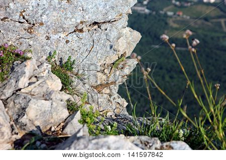 two green and brown lizard on white rocks on mountain peak Ai-Petri in Crimea in summer