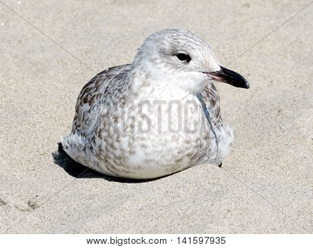 Gull on bank of the Lake Ontario in Toronto Canada August 2 2016