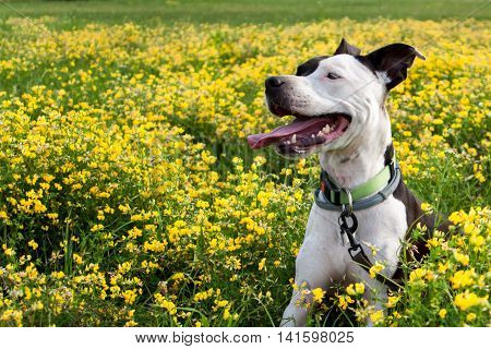 An American Staffordshire Terrier enjoying the wildflowers