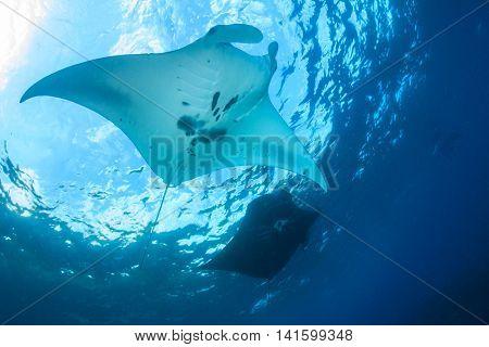 Reef Manta Rays