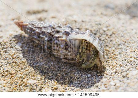 Hermit crayfish in shell on sand beach