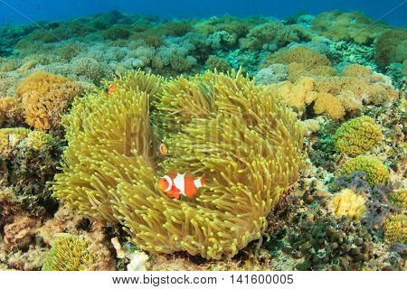 Clownfish, anemone and coral reef in ocean