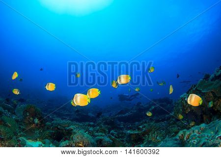 Tropical fish (butterflyfish) and coral reef and scuba diver