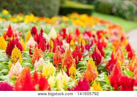 Garden of brilliantly colored celosia or woolfower in full bloom.