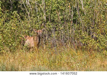 a young elk emerging from thick cover