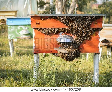 Honey bees swarming and flying around their beehive.