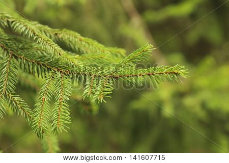 Green spruce branches on a tree, close up