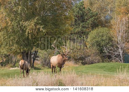 a bull and cow elk during the fall rut
