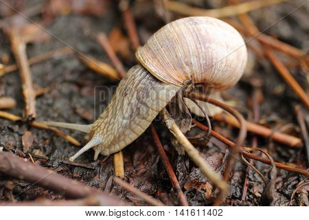close photo of edible snail (Helix pomatia) on the move across some sear plants and twigs