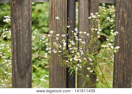 blooming panicled aster growing next to the old wooden fence