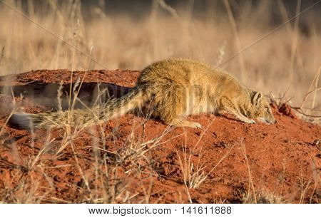 A Yellow Mongoose lying on a termite mound in Southern African savanna