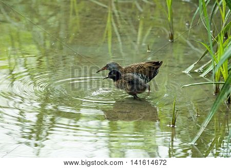 Infrequently seen adult Water Rail with young Water Rail