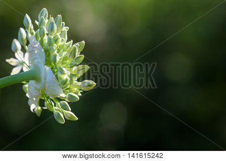 White allium, buds starting to bloom against a dark background