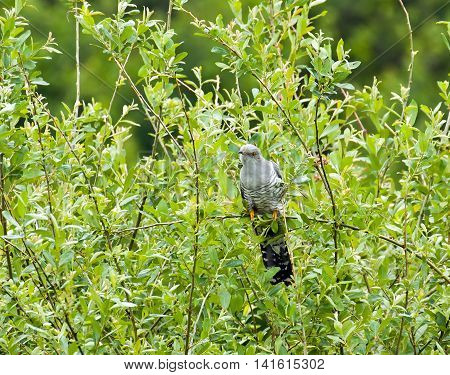 Migratory Bird Eurasian Cuckoo in Sussex countryside