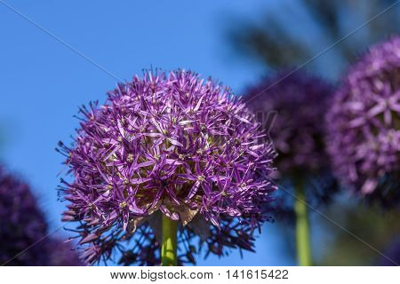 Purple allium in full bloom against a dark blue background