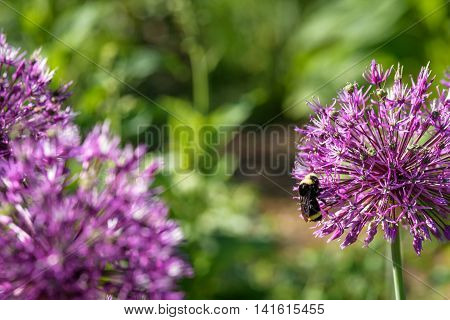 Bumble bee on a purple allium in full bloom