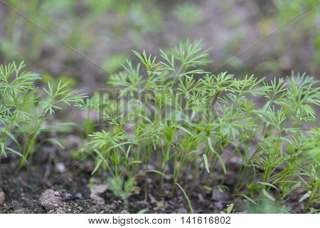 Young dill growing on the vegetable bed