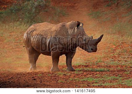 A white rhinoceros (Ceratotherium simum) standing in dust, South Africa