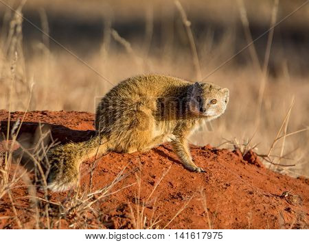 A Yellow Mongoose sitting on a termite mound in Southern African savanna
