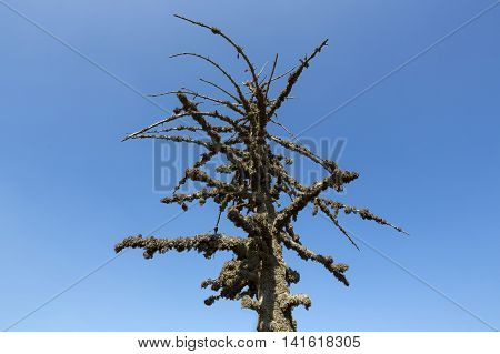 Mossy Dead Tree Over The Blue Sky