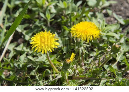 Yellow Dandelions In Nature.