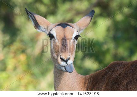 A Female Impala (aepyceros Melampus) Sticking Out Her Tongue