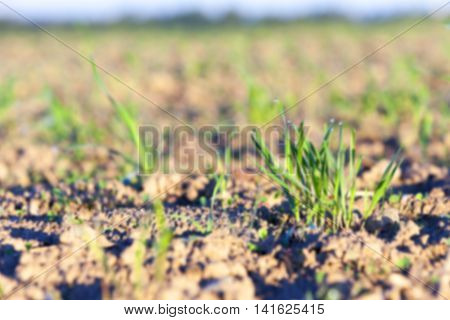 photographed close up young grass plants green wheat growing on agricultural field, agriculture, against the blue sky defocus