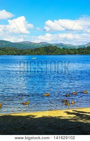 Ducks swimming in the Loch Lomond lake in Luss Scotland UK