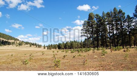 Beautiful open field with pine trees near Flagstaff Arizona.