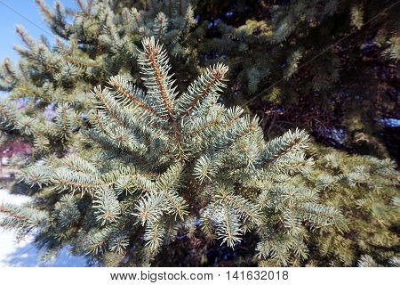 A branch of a blue spruce tree (Picea pungens) in Joliet, Illinois during November.