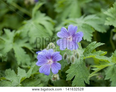 the geranium Bush with two opened flowers