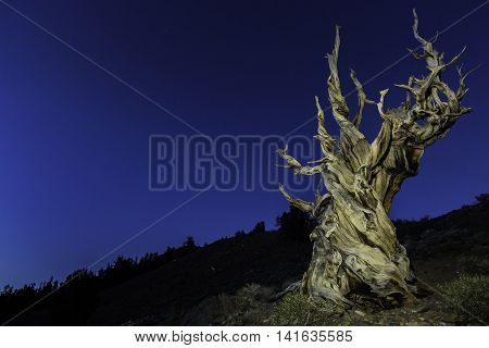 Bristlecone pine in the night sky with stars