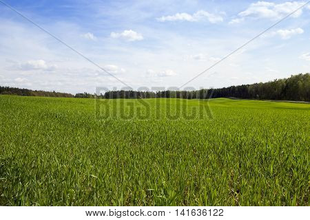 an agricultural field on which grow cereals. Spring. immature cereals
