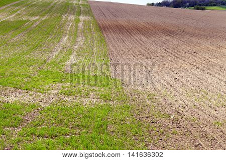 Agricultural field on which grow unripe green grass in spring season
