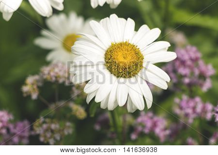 daisy field and pink flowers, shallow depth of field close up