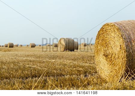 v Agricultural field on which stacked straw haystacks after the wheat harvests