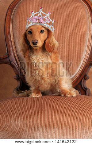 Dachshund wearing a princess crown
