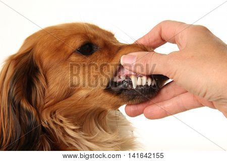 Close up of clean teeth and healthy gums of a dachshund dog.
