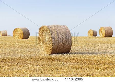 Agricultural field on which stacked straw haystacks after the wheat harvests