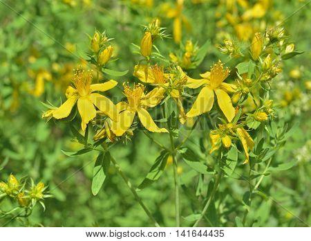 A close up of the blooming medicinal herb hypericum (Hypericum perforatum).