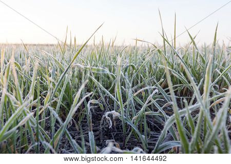 photographed close-up of young green wheat in frost, close-up, defocused