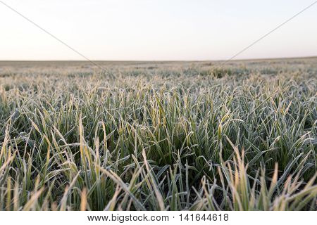 photographed close-up of green plant young wheat in the morning after a frost, a small depth of field
