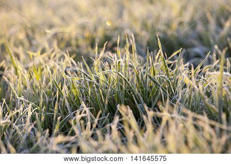 photographed close-up of young sprouts of wheat with frost on it, morning, sunny yellow dawn, a small depth of field