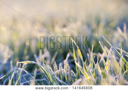 photographed close-up of green plant young wheat in the morning after a frost, defocused