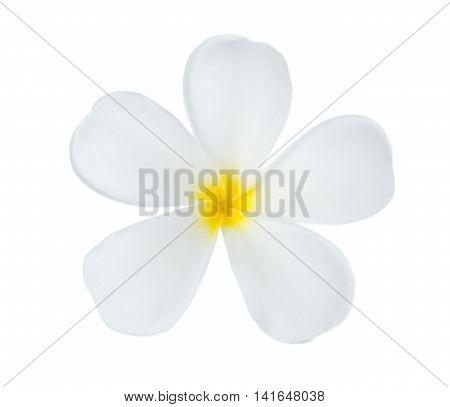 Closeup Plumeria flower on white background. Plumeria flower