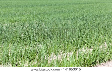 agricultural field on which grows green onions. spring season