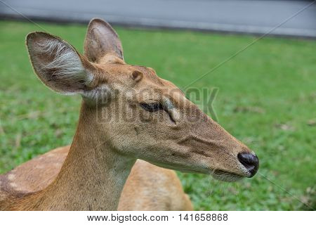 Antelope Deer Closed Up On Green Background