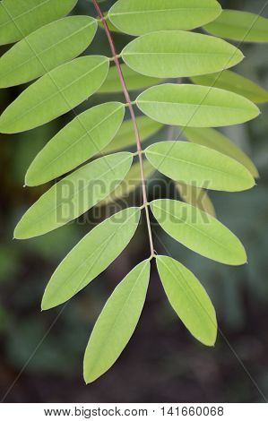 close up Senna siamea leaves in garden