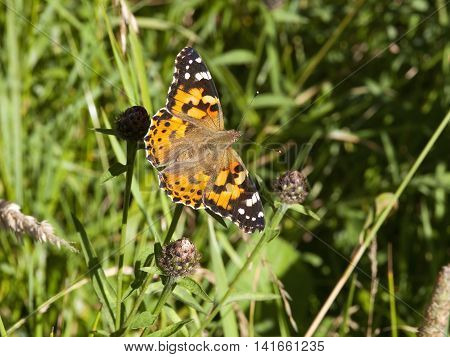 a painted lady butterfly, Cynthia cardui, on knapweed plants in summertime